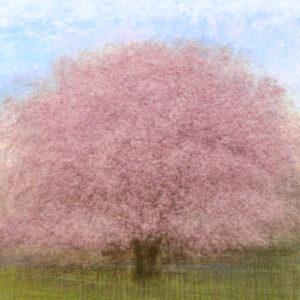 Cerisier du parc des Bastions